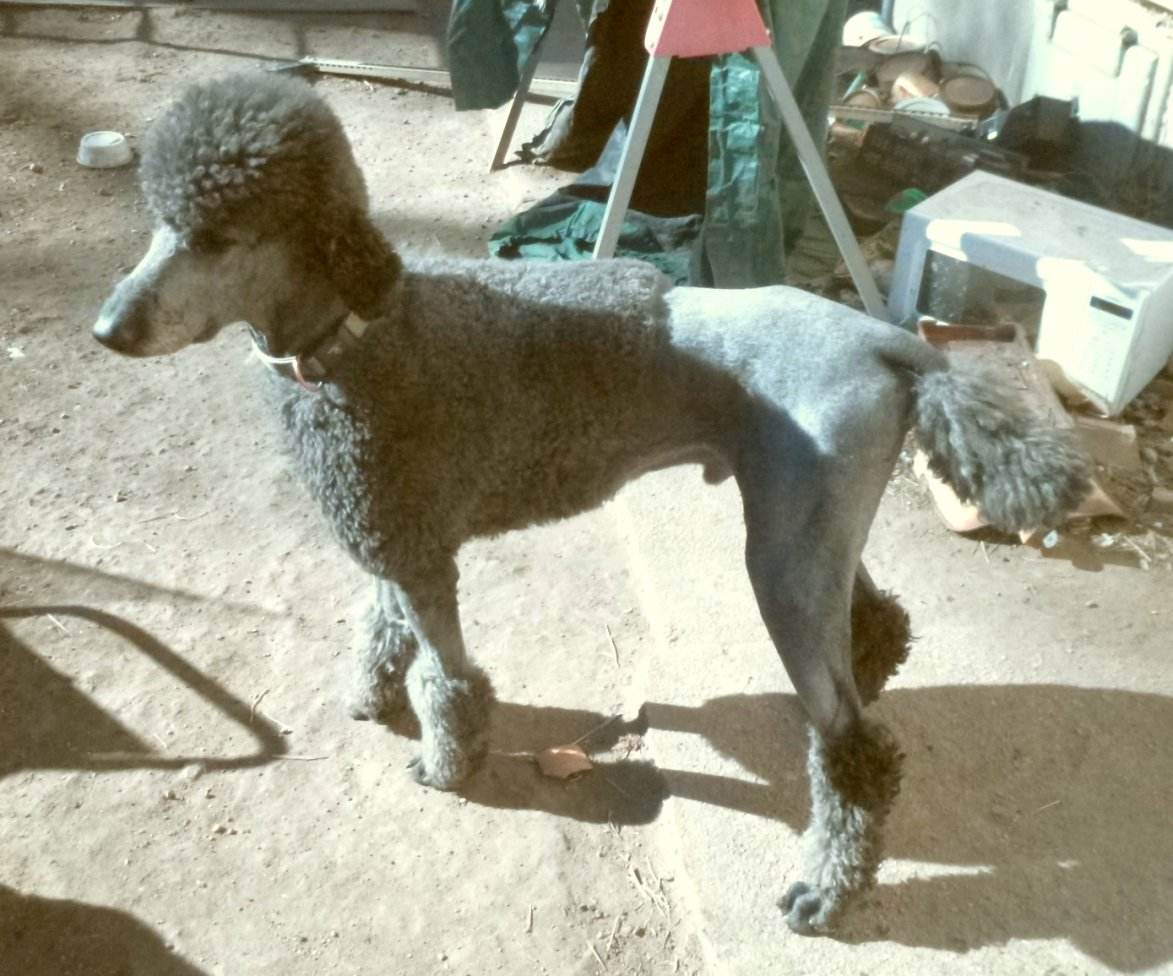 Poodle Cuts / Pictures of different poodle cuts-apollo-retro-2-color-fixed.jpg
