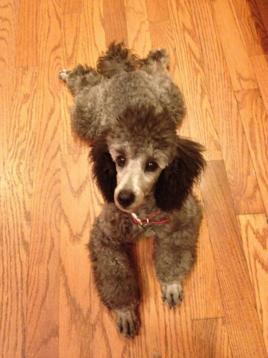 The Silver Poodle Thread-5-months.jpg