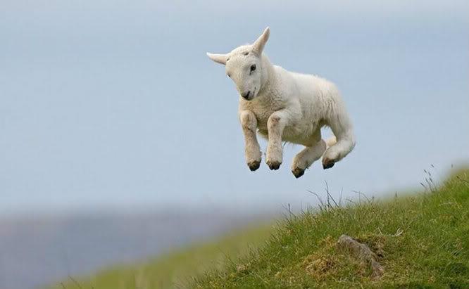Baby Goat Smiling Baby Goat
