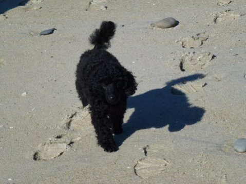 Pictures of My New MINI Poodle Puppy--JOSIE!!!!!-bb.jpg
