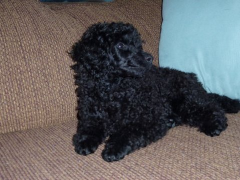 Pictures of My New MINI Poodle Puppy--JOSIE!!!!!-bb1.jpg