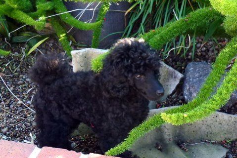 Pictures of My New MINI Poodle Puppy--JOSIE!!!!!-bb2.jpg