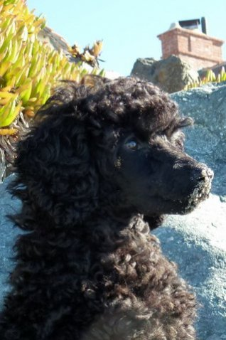 Pictures of My New MINI Poodle Puppy--JOSIE!!!!!-bb3.jpg