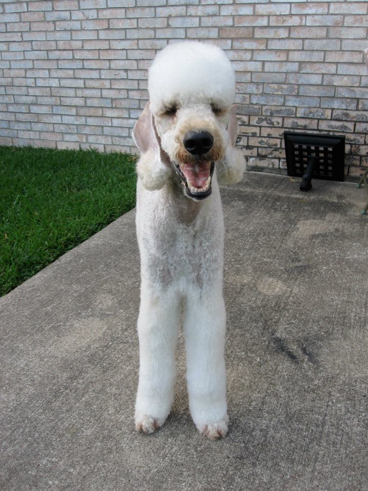 Leroy in a Bedlington Trim-bb4.jpg