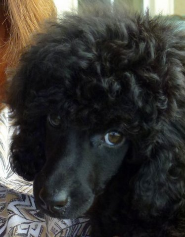Pictures of My New MINI Poodle Puppy--JOSIE!!!!!-bb5.jpg