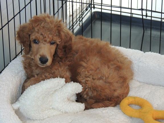 When Do Spoo Puppies Sleep Through The Night Poodle Forum