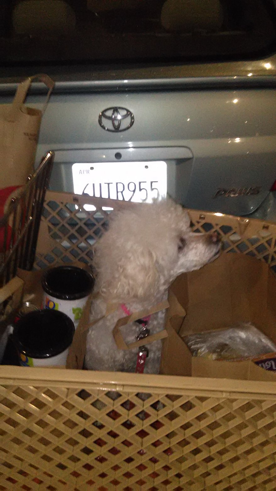 What is my dog? Poodle or Bichon - Poodle Forum - Standard Poodle