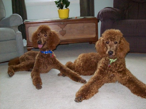 Non-Fading Red Standard Poodles?  fact or fiction?-betty-jenny-about-year.jpg