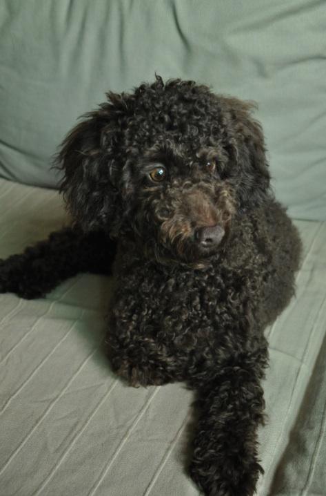 New Member Brown Toy Poodle Poodle Forum Standard