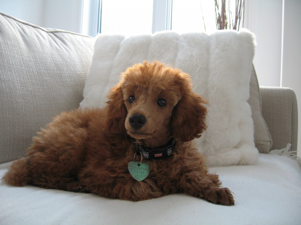 Red poodle fading and turning red again?-blaze-4-months.jpg
