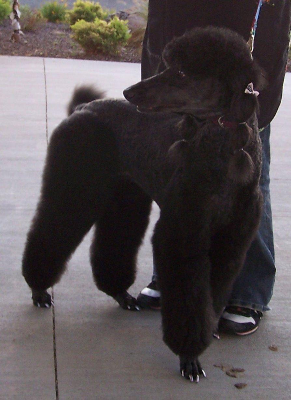 Poodle in a Lion Trim? - Poodle Forum - Standard Poodle, Toy Poodle