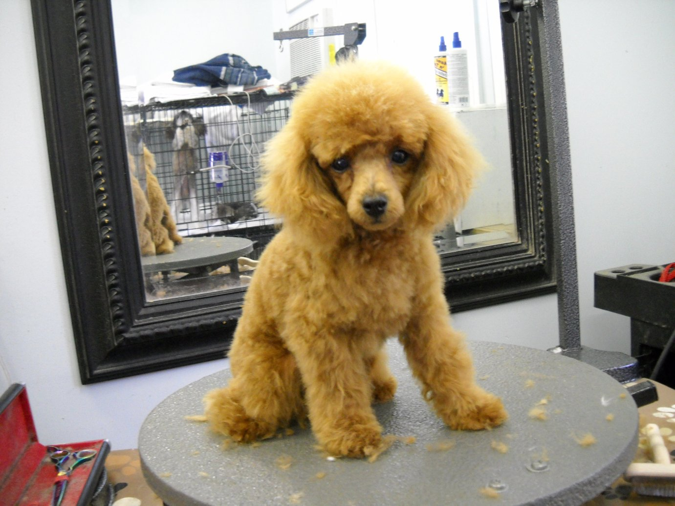 toy poodle haircut styles - haircuts models ideas