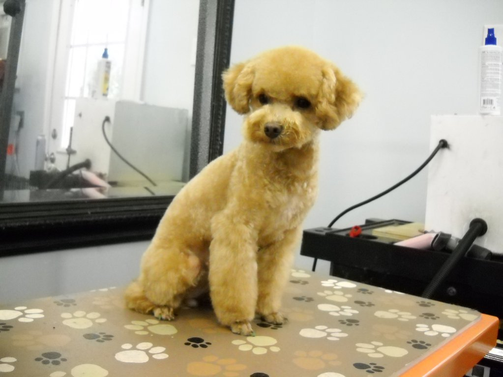 Louisas Japanese Style Page 2 Poodle Forum Standard