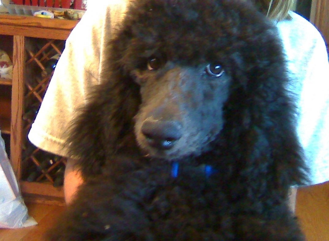 Hi - From Me and our new standard poodle puppy-cash.jpg