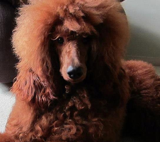 Favorite poodle color?-cay-cropped.jpg