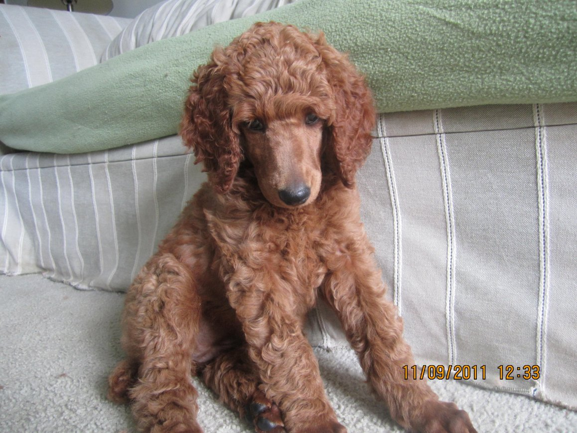 The Red Poodle Thread-cayenne-1.jpg