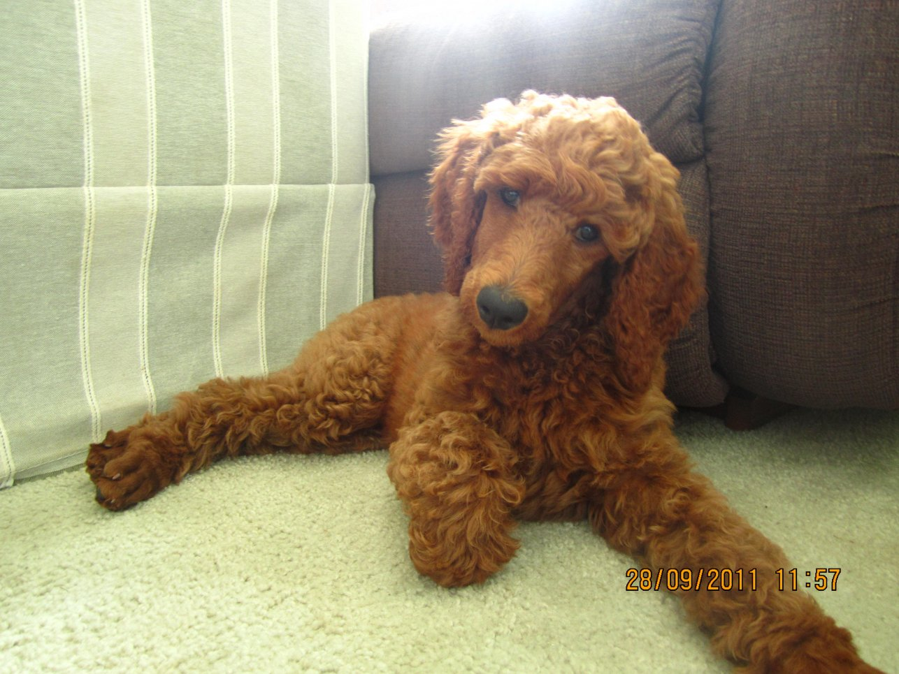 The Red Poodle Thread-cayenne-10-weeks-2.jpg
