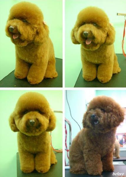 Teddy bear cut..-choco.jpg