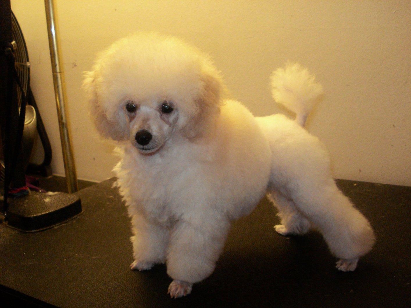 !! - Poodle Forum - Standard Poodle, Toy Poodle, Miniature Poodle ...