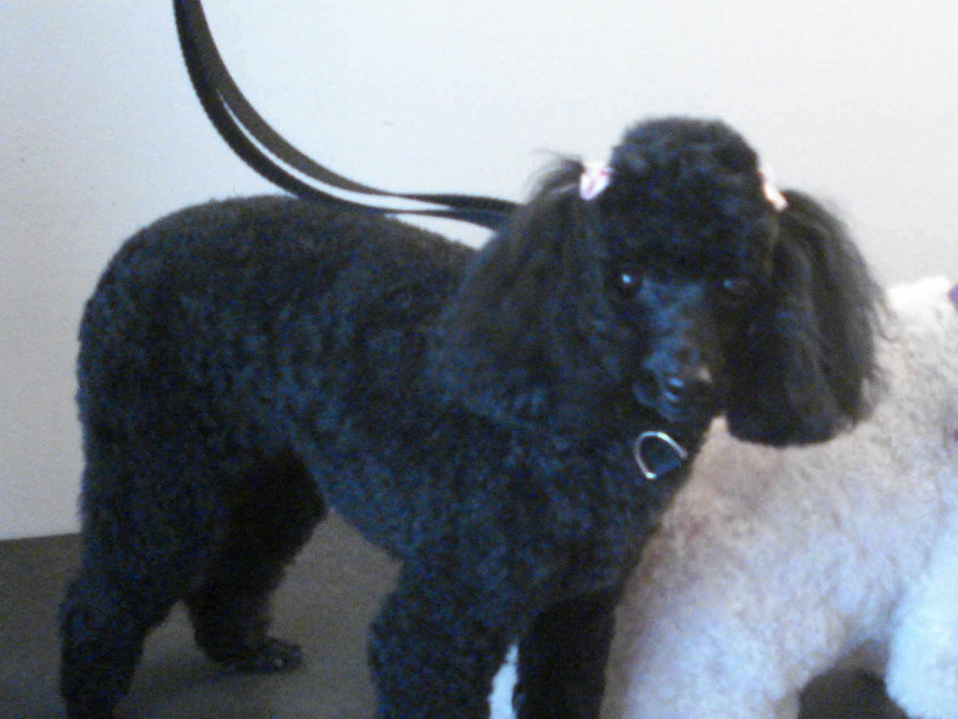 How do you trim Poodle ears?-copy-picture-1655.jpg