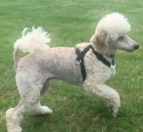 10 Month Standard Heightweight Poodle Forum