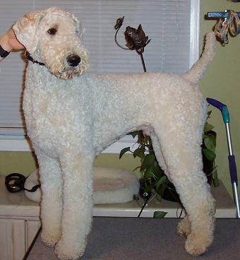 Poodle Cuts / Pictures of different poodle cuts-da8f59bb8b5a5c45cf44a4fb3d77511b.jpg