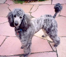 Manly poodle cuts-davight_silverbrindle.jpg