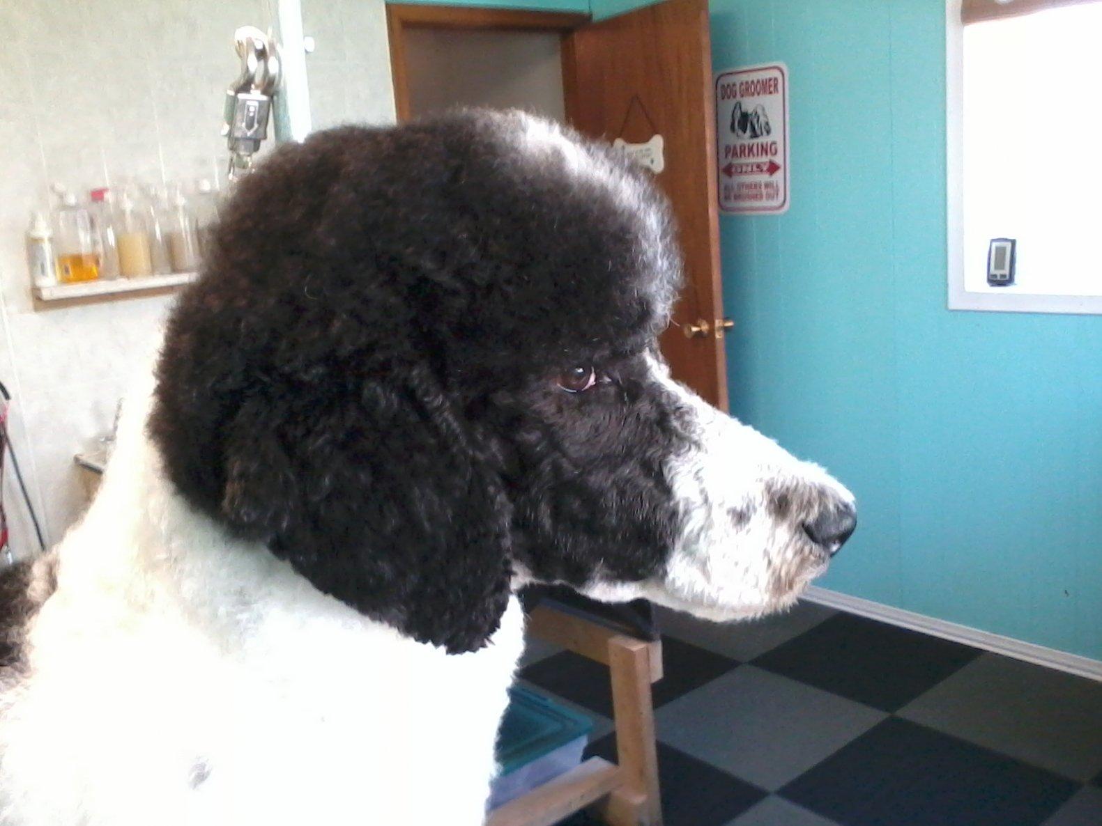 to get a rescue poodle - Poodle Forum - Standard Poodle, Toy Poodle ...