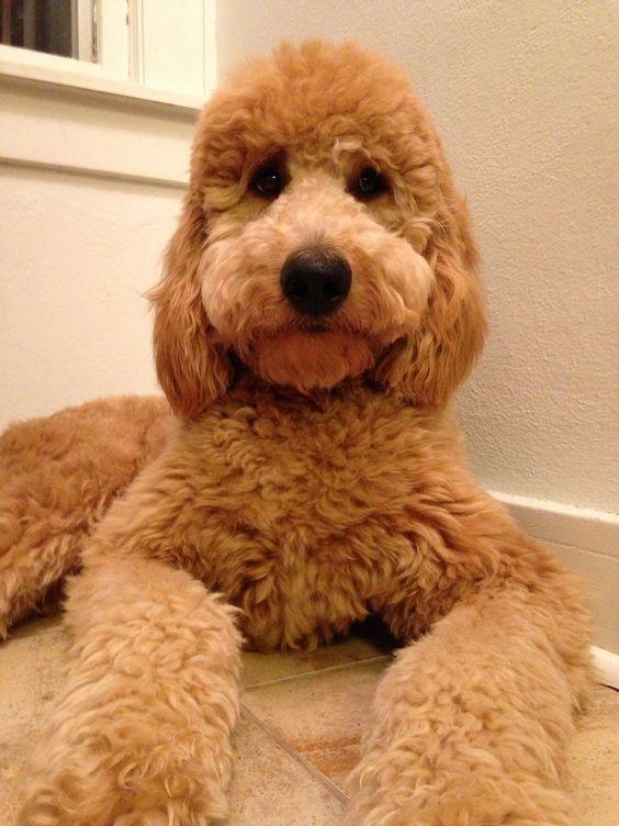 Good Dog Names For Goldendoodles