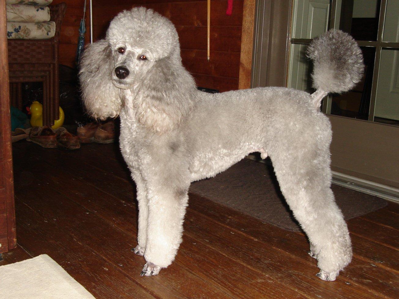 Mini Poodle Haircuts Inspiration Dohoaso