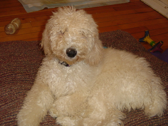 First haircut poodle forum standard poodle toy poodle first haircut dsc05614g winobraniefo Image collections