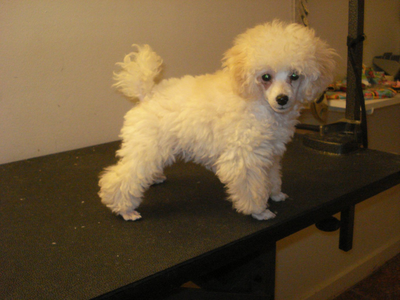 Toy Poodle Puppy Haircuts Lumis first haircut !! - poodle forum ...