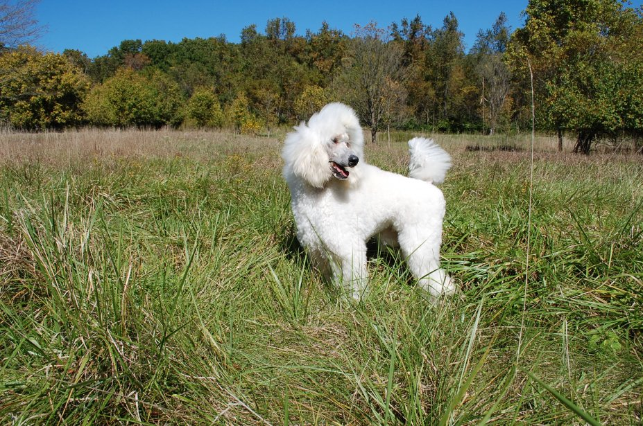 The White Poodle Thread-dsc_0647.jpg