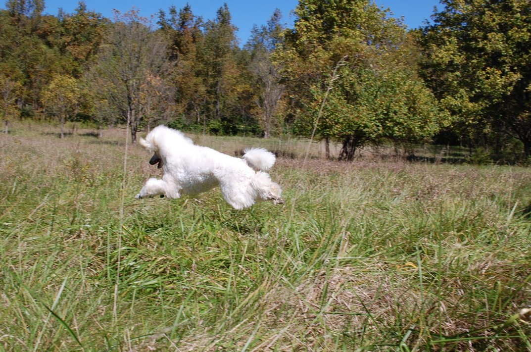 The White Poodle Thread-dsc_0678.jpg