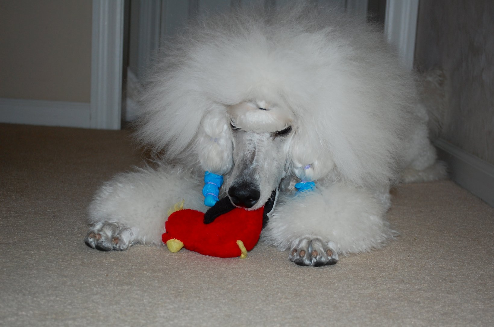 The White Poodle Thread-dsc_1011.jpg
