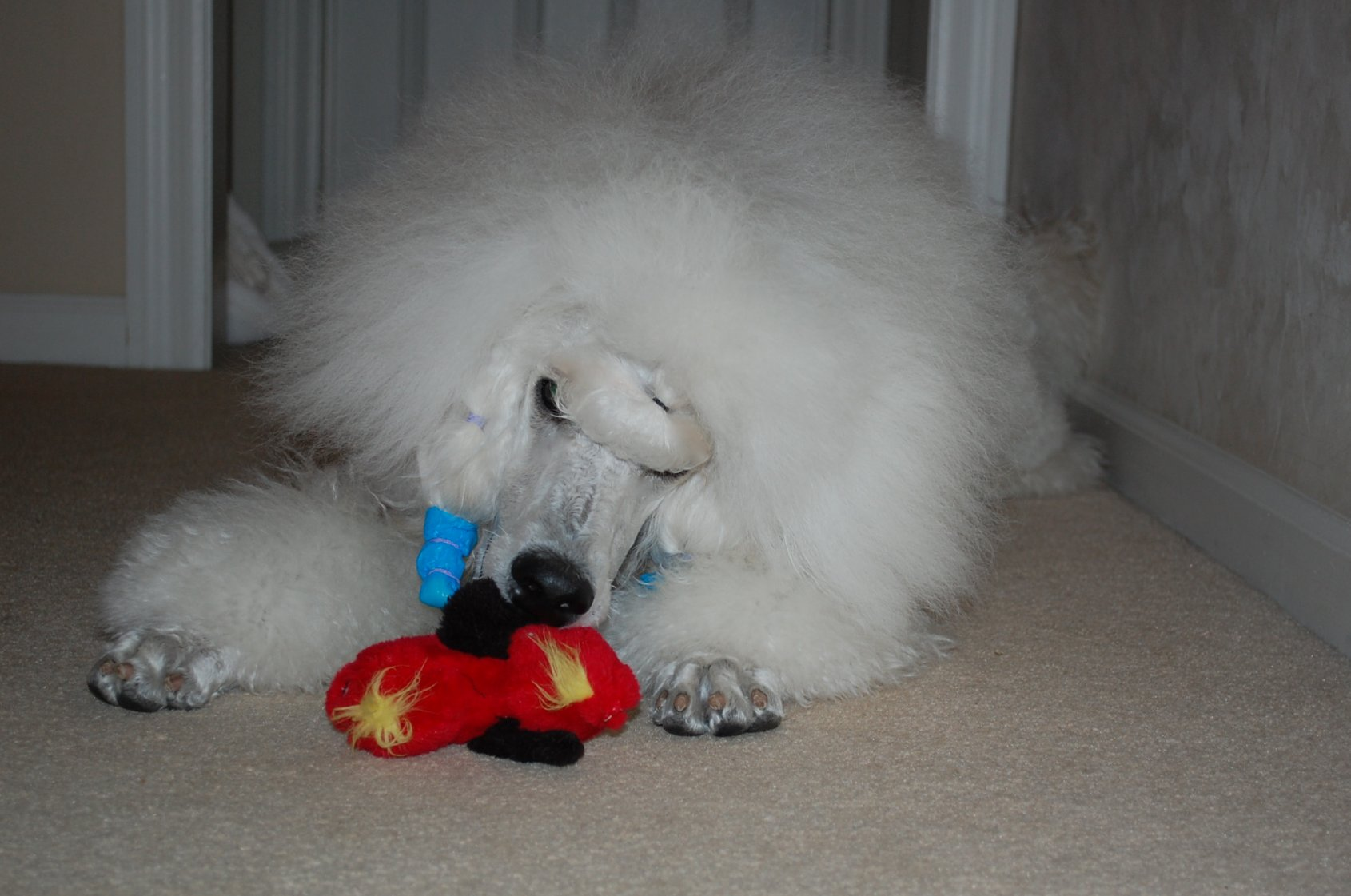 The White Poodle Thread-dsc_1012.jpg