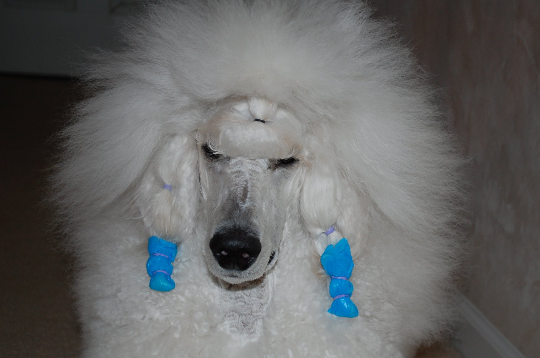 The White Poodle Thread-dsc_1021.jpg