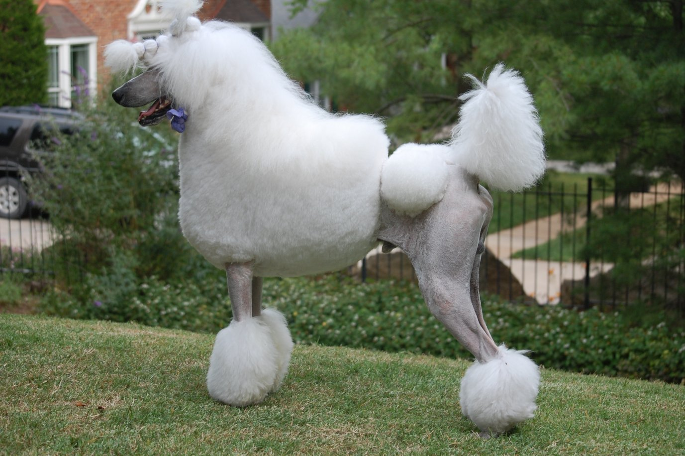 Does anyone have a picture of a dog in a continental with a flowing long tail?-dsc_1468.jpg
