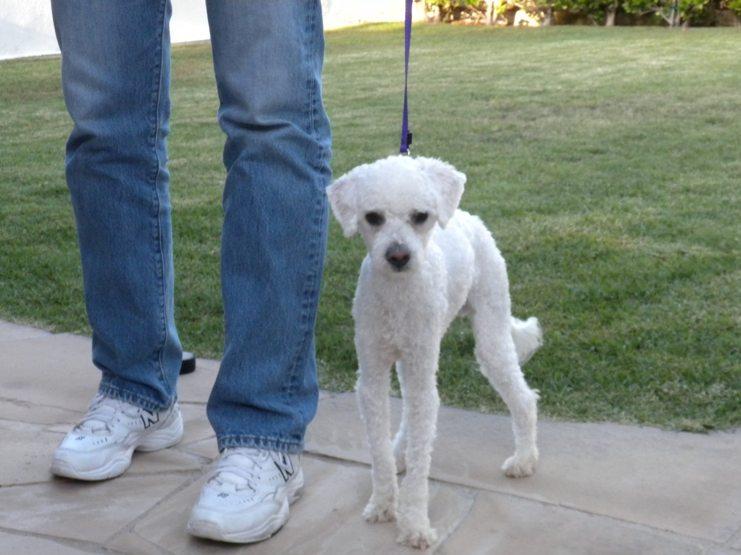 Dog Needs To Gain Weight Poodle Forum