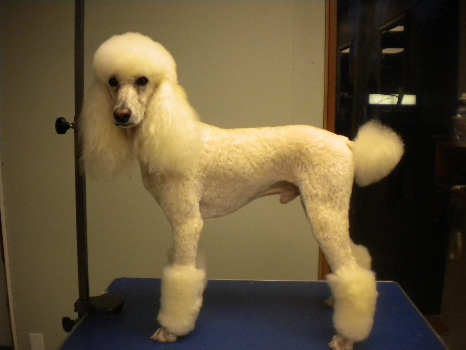 Mister Got Another Haircut Poodle Forum Standard Poodle Toy