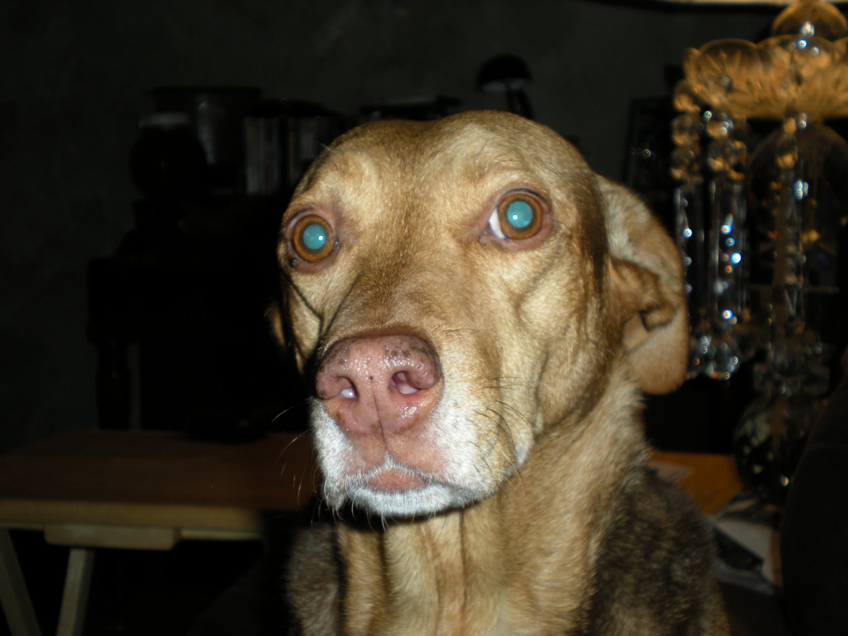 Beagle/Pointer mix?? We have no idea-dscn0769.jpg