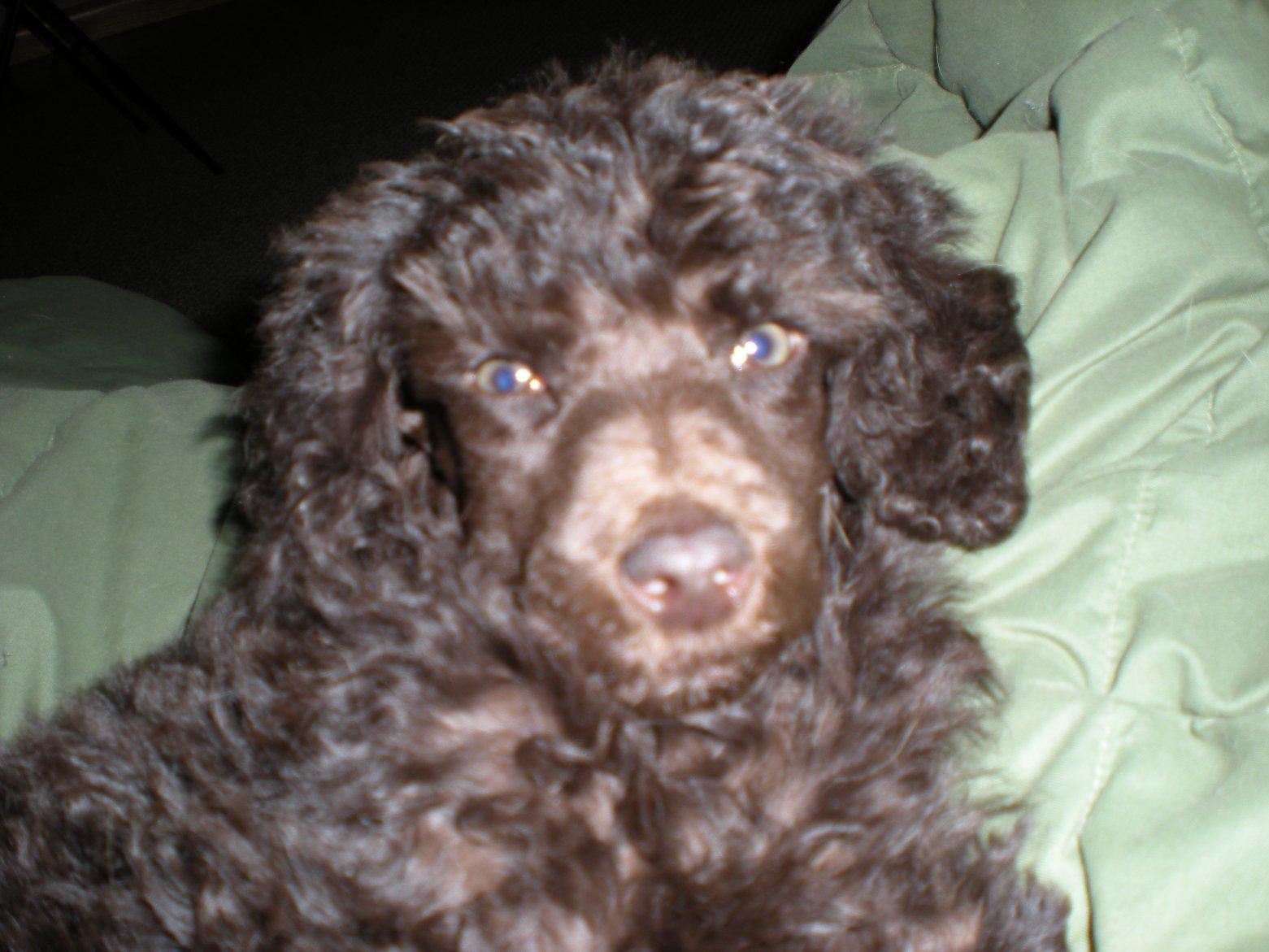brown poodle eye