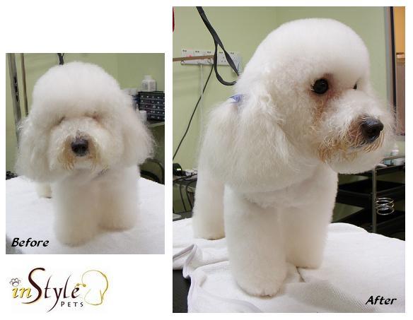 Bichon Poodle Mix Hair Cut