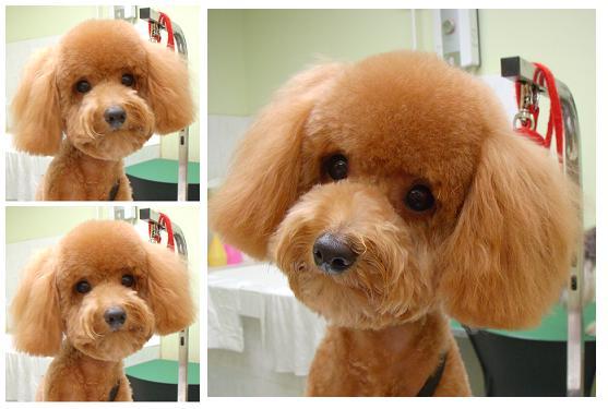 Teddy bear cut.. - Page 3 - Poodle Forum - Standard Poodle, Toy Poodle ...