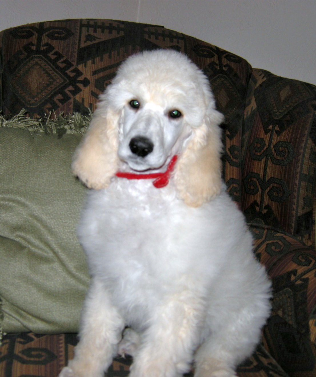 The gallery for --> White Baby Poodles