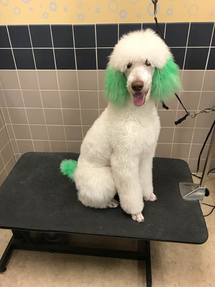 Hair Dye - Poodle Forum - Standard Poodle, Toy Poodle, Miniature ...