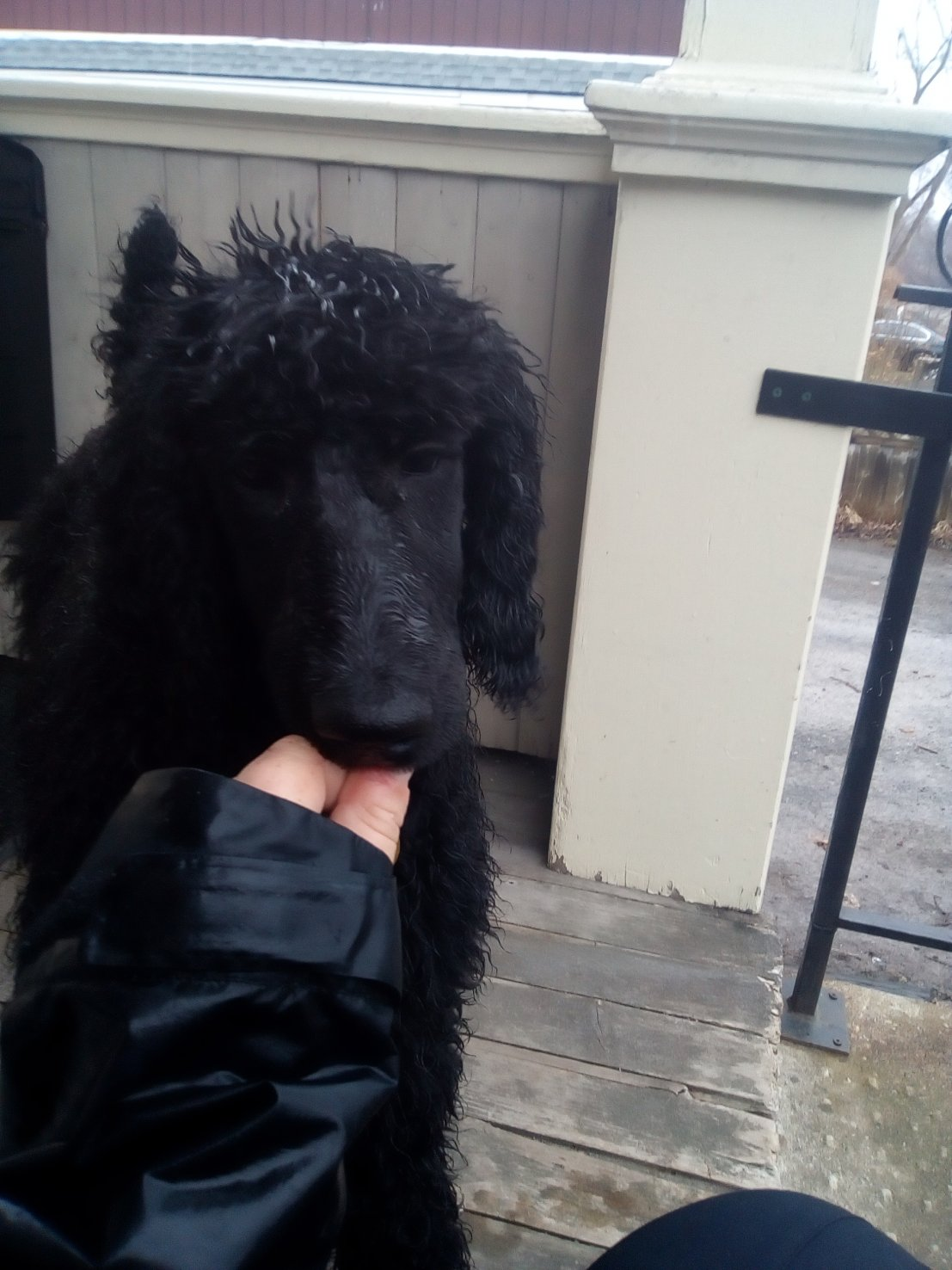 How to train a poodle to like water?-echo-soggy.jpg
