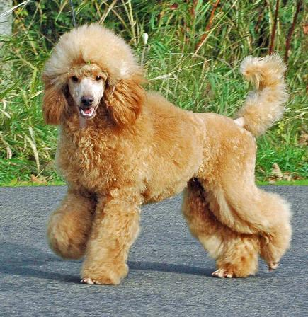 Miniature poodles with long tails-elena110309kw-435x448.jpg