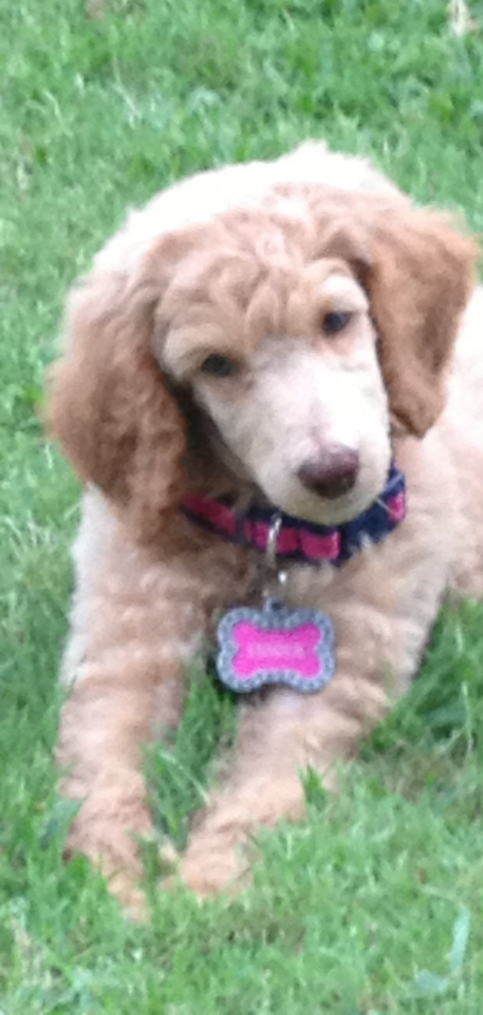Projected Adult Size Of Standard Poodle Puppy Poodle Forum