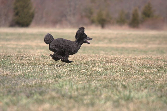 Lure Coursing!-fallon-lure-2.jpg
